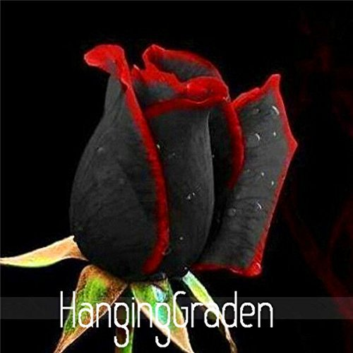True Blood Black Rose 100PCS Rare Rose seeds Flowers Seeds.For Garden Bonsai Planting. Semillas de rosaC0QBUZ