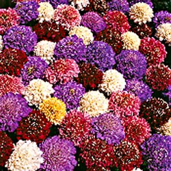 Amazon 30 Cutbright Mix Scabiosa Pincushion Flower Seeds