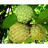 50 Sugar Apple Seeds, Annona Squamosa