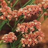 250 Seeds Statice Premium Apricot Flower Seeds Garden Starts Nursery