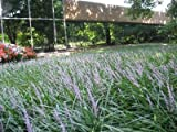 Classy Groundcovers - Liriope muscari 'Big Blue' {25 Bare Root plants}