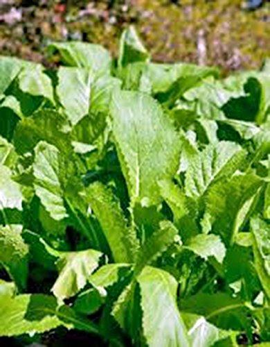 Mustard Greens Seed, Old Fashioned Green, Heirloom, Organic, Non Gmo, 100 Seeds,