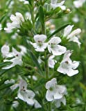 "Winter Savory - Satureja - Fishes, Meats, Sauces, Soups - 3"" Pot"