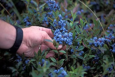 100 Seeds Lowbush Blueberry Seeds, Vaccinium Angustifolium, Fruit Is High in Antioxidants !
