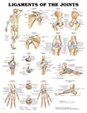Wolters Kluwer Health Ligaments Of The Joints Chart 20 X26