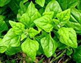New Zealand Spinach Seeds Tetragonia Around 5 Seeds