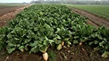 1Lb Sugar Beet Food Plot 10,000 Seeds bulk Excellent Deer Food Plot