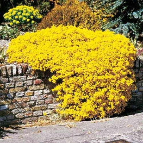 (60+ Yellow Alyssum Perennial Ground Cover)