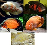 """Family of (5) Live Oscars 2"""" Live Tropical Fish"""