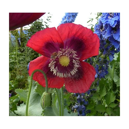 """Cheap (APOP)~""""RASPBERRY BREADSEED"""" POPPY~Seed!!!~~~~~~Unique Color! hot sale"""