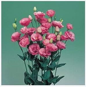 Eustoma, semillas eustoma baratas, flor Bonsai balcón, eustoma maceta semillas - 100 PC / bolso