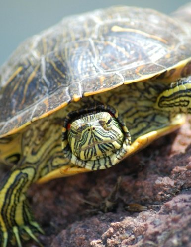 Turtle Bullet Journal: Red Eared Slider (Large Bullet Journal 8.5 x 11) (Comfortable 1/4 Inch Dot Grid) (140 Pages, Soft Cover) (Sliders Red Ear)