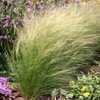 Mexican Feather Grass - Outsidepride Mexican Feather Grass - 1000 Seeds