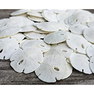 sand dollar seashells diy crafts set of 50
