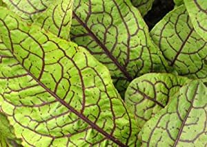 Sorrel Red Veined Bloody Dock 500 seeds