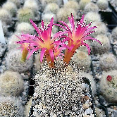 Neoporteria Nidus senilis Cactus Cacti Succulent Real Live Plant : Garden & Outdoor