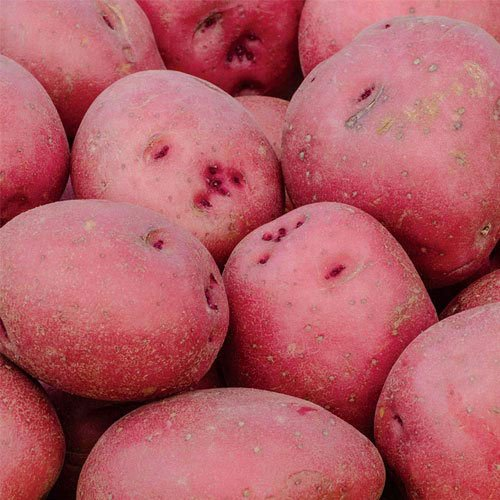 red-pontiac-patatoes-4-lb-seeds