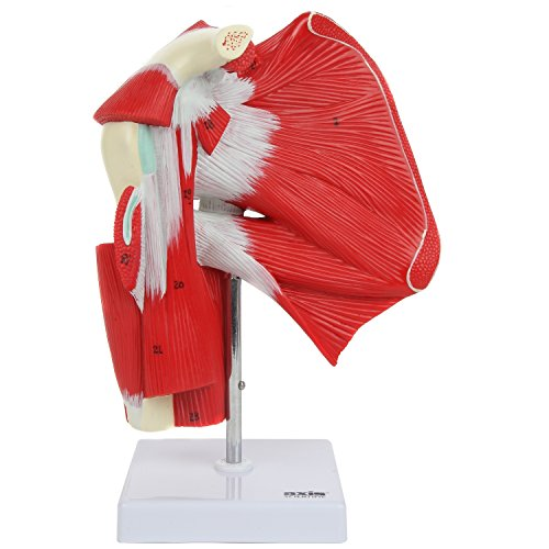 Axis Scientific Anatomy Model of Muscled Shoulder Joint | Shows Complete Shoulder Musculature from Rotator Cuff to Subscapular Muscles | Comes on White Base | Includes Product Manual | 3 Year Warranty