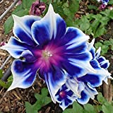 100pcs/pack Morning Glory Seeds Beautiful Perennial Flowers Seeds for Garden qc
