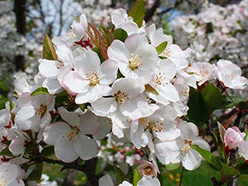 (Tea Crabapple, Malus hupehensis, Tree Seeds (20 Seeds))