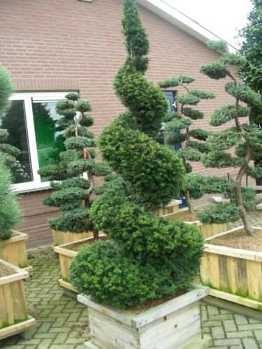 English Yew, Taxus baccata, Tree Seeds (Topiary, Hedge, Evergreen, Bonsai)