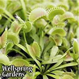 Cheap Venus Fly Trap King Henry Dionea muscipula Live Big eating plant