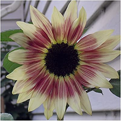 Package of 50 Seeds, Ruby Eclipse Sunflower (Helianthus annuus) Non-GMO Seeds by Seed Needs