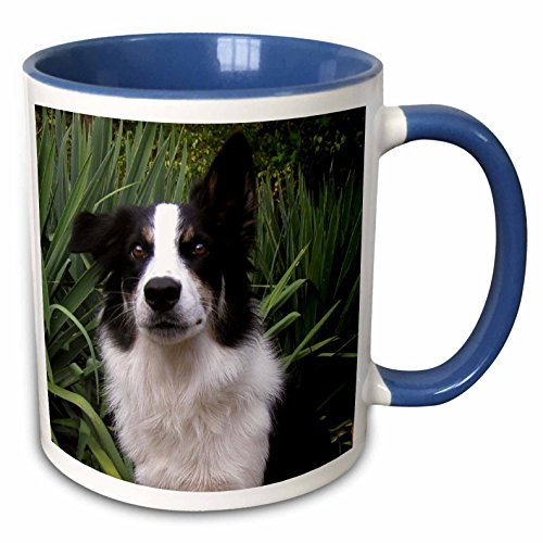 3dRose Roni Chastain Animals - border collie 2 - 11oz Two-Tone Blue Mug (mug_154686_6) (Collie Pictures compare prices)