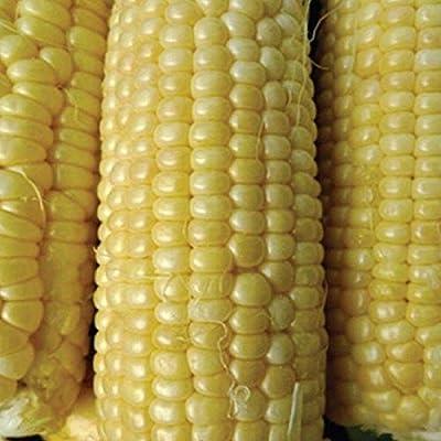 Jubilee Hybrid F1 Corn Seeds (100 Seeds) : Garden & Outdoor