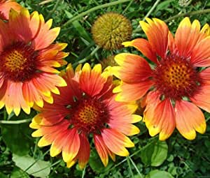BLANKET FLOWER Gaillardia Aristata - 1,000 Bulk Seeds
