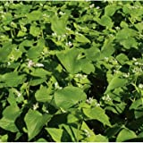 David's Garden Seeds Cover Crop Buckwheat D73101AS (White) Open Pollinated Seeds One Pound Package