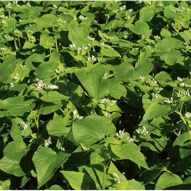 David's Garden Seeds Cover Crop Buckwheat D73101AS (White) Open Pollinated Seeds One Pound Package by David's Garden Seeds