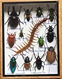 REAL CENTIPEDE AND MIXS RARE INSECT TAXIDERMY SET IN BOXES DISPLAY FOR COLLECTIBLES