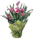 hana bay flowers 3600.06 Calla Lily Live Plant Pink, 6.5'' Pot