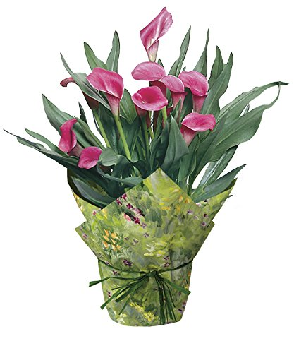 hana bay flowers 3600.06 Calla Lily Live Plant Pink, 6.5'' Pot by hana bay flowers (Image #2)