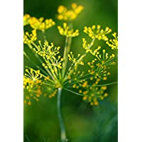 100 Dill Seeds - Bouquet Dill Anethum Graveolens - by RDR Seeds