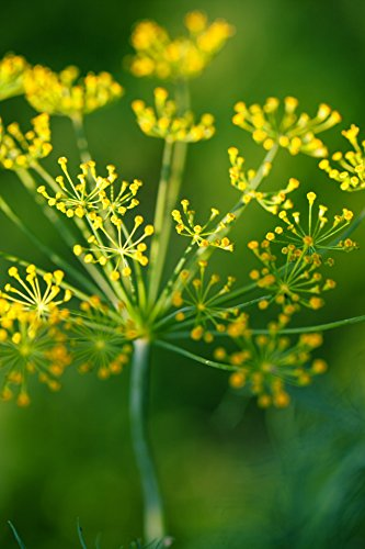 100 Dill Seeds - Bouquet Dill Anethum Graveolens - by RDR - Seed Weed Dill