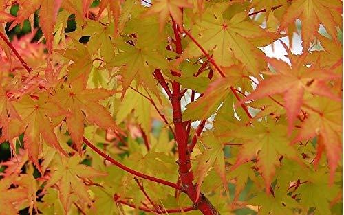 Trade Gallon Pot Sango Kaku Japanese Maple Live Plant Tree Shrub Planting