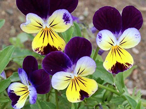 50+ Viola Johnny Jump up/Edible Pansy, Violet/Perennial Easy Flower Seeds