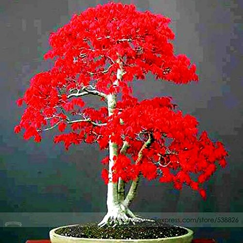 100% True Japanese Red Maple Bonsai Tree Cheap Seeds, Professional Pack, 20 Seeds / Pack, Very Beautiful Indoor (Japanese Bonsai)