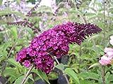 BUDDLEIA 'ROYAL RED' - BUTTERFLY BUSH - STARTER PLANT