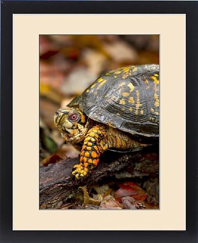 Framed Print of Eastern Box turtle (male) Terrapene carolina, Jefferson National Forest