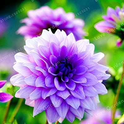 hot Sale 2 Bulb Purple Dahlia Bulbs Beautiful Perennial Dahlia Flower Bulbs : Industrial & Scientific