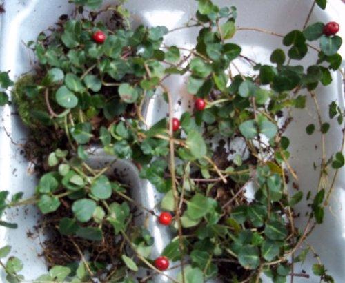(Live Partridge Berry Vine Plants for Fairy Garden, Terrarium, Garden)