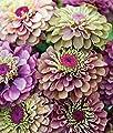55 Lime Mix Zinnia Seeds Bonsai Flower Seeds Beauty Lucky Home Garden Decoration