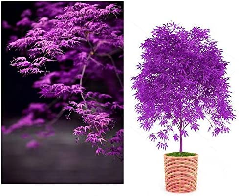 SOOGGI 10粒 紫色もみじの種 植物種子 鉢植え 有機 観葉植物 高い発芽率 簡単な栽培 ホームガーデンの装飾