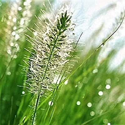 Toyensnow - BOTTLEBRUSH Grass Ornamental Shade Elymus Hystrix Patula (25 Seeds) : Garden & Outdoor