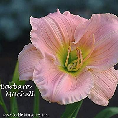 Barbara Mitchell Daylily : Garden & Outdoor