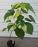 Copperleaf Plant White Variety (Acalypha wilkesiana godseffiana) 3-Foot Rooted