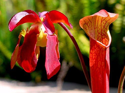 Pitcher Plant Seeds - 10 SWEET PITCHER PLANT CARNIVOROUS Sarracenia Gronovii Rubra Red Flower Seeds